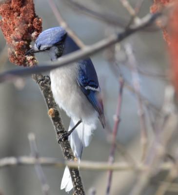 Photo of Blue Jay Bent Sumac on NaturalCrooksDotCom