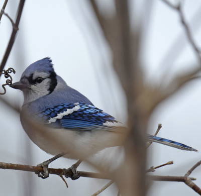 Photo of Blue Jay Dundas On NaturalCrooksDotCom
