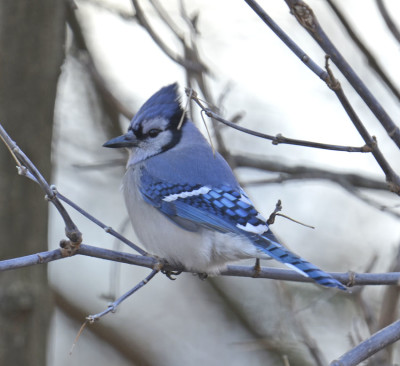 Photo of Blue Jay Watching Me On NaturalCrooksDotCom