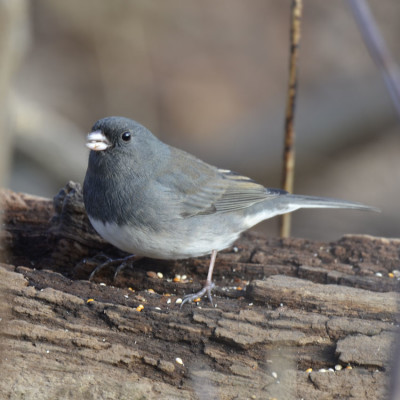 Photo of Dark Eyed Junco Mouthful Log on NaturalCrooksDotCom