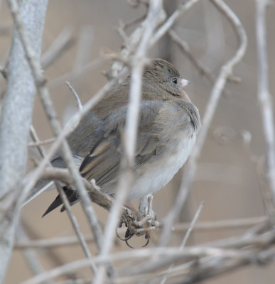 Photo of Dark Eyed Junco Probable Female Dundas on NaturalCrooksDotCom