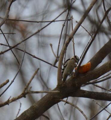 Photo of Downy Woodpecker Half Orange on NaturalCrooksDotCom