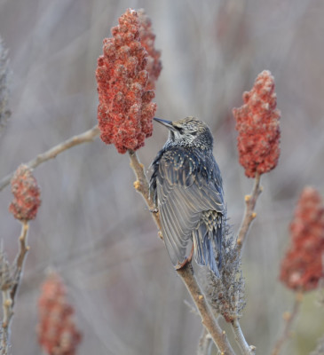 Photo of European Starling On Sumac On NaturalCrooksDotCom