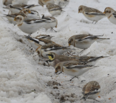 Photo of Horned Lark and Snow Buntings On NaturalCrooksDotCom