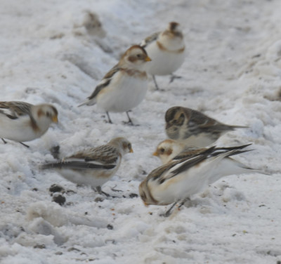 Photo of Lapland Longspur Amongst Snow Buntings on NaturalCrooksDotCom