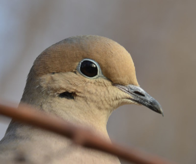 Photo of Mourning Dove Face Up On NaturalCrooksDotCom