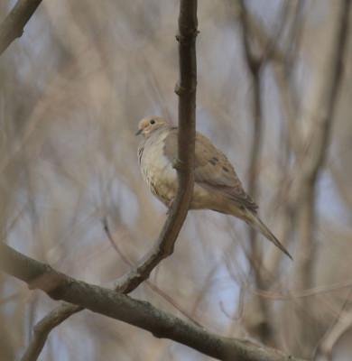 Photo of Mourning Dove Unfocussed on NaturalCrooksDotCom