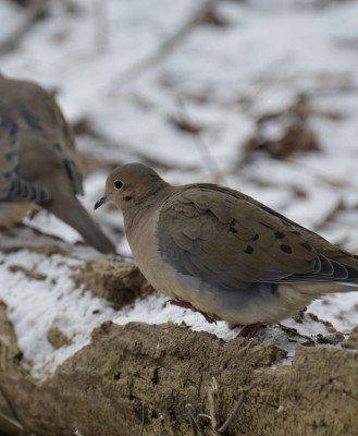 Photo of Mourning Doves Dundas On NaturalCrooksDotCom