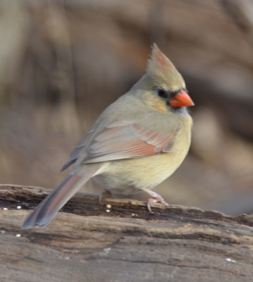 Photo of Northern Cardinal Female Log On NaturalCrooksDotCom