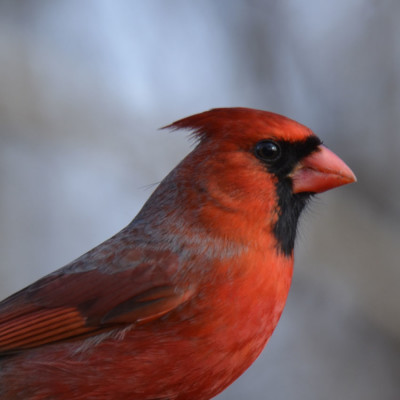 Photo of Northern Cardinal Male Portrait On NaturalCrooksDotCom