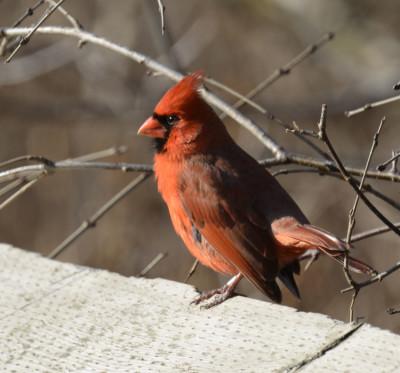 Photo of Northern Cardinal Male Railing On NaturalCrooksDotCom