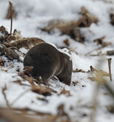 Photo of Possible Northern Short Tailed Shrew On NaturalCrooksDotCom
