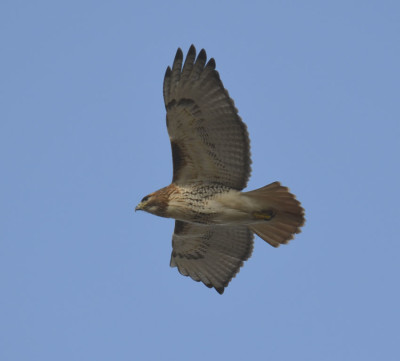 Photo of Red Tailed Hawk Wind on NaturalCrooksDotCom