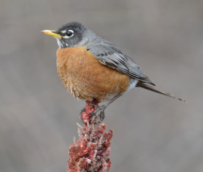 Photo of Robin on Sumac Spike on NaturalCrooksDotCom