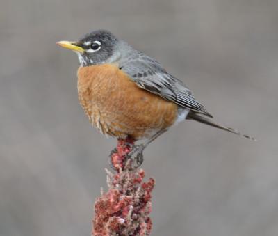 Photo of Robin on Sumac Spike on NaturalCrooksDotCom