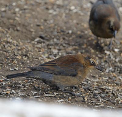 Photo of Rusty Blackbird Female Seeds Shadows 25 on NaturalCrooksDotCom