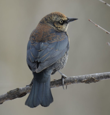 Photo of Rusty Blackbird Male Profile On NaturalCrooksDotCom
