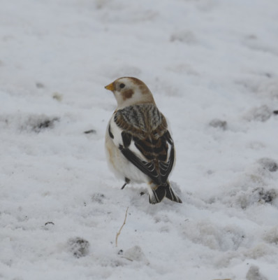 Photo of Snow Bunting Back On NaturalCrooksDotCom