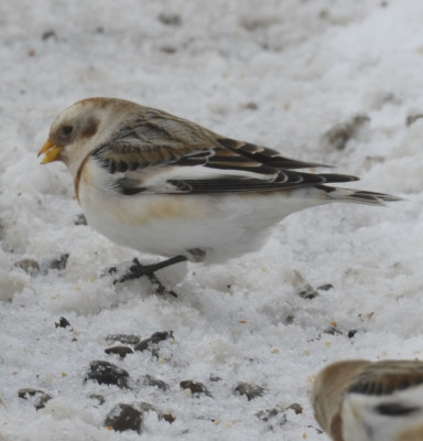 Photo of Snow Bunting Bill on NaturalCrooksDotCom