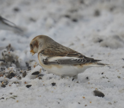 Photo of Snow Bunting Seed On NaturalCrooksDotCom