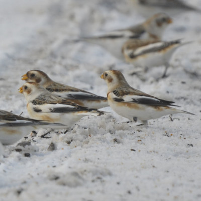 Photo of Snow Buntings Eating Seeds On NaturalCrooksDotCom
