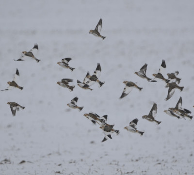 Photo of Snow Buntings Flight Light on NaturalCrooksDotCom