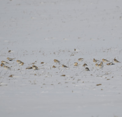 Photo of Snow Buntings In Field On NaturalCrooksDotCom