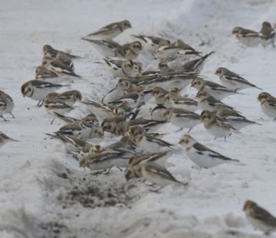 Photo of Snow Buntings Pushy On NaturalCrooksDotCom