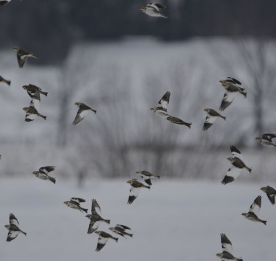 Photo of Snow Buntings in Flight on NaturalCrooksDotCom