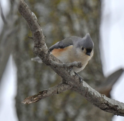 Photo of Tufted Titmouse Olympic Arena Park Dundas on NaturalCrooksDotCom
