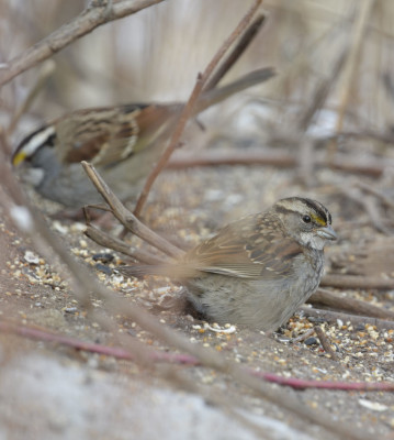 Photo of White Throated Sparrows Dundas On NaturalCrooksDotCom