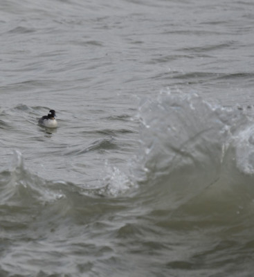 Photo of Bufflehead Female Near Breakers on NaturalCrooksDotCom