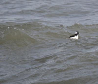 Photo of Bufflehead Male Near Cresting Wave On NaturalCrooksDotCom
