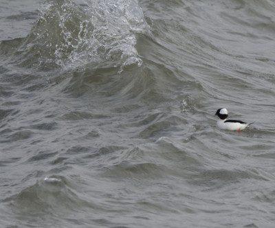 Photo of Bufflehead Male Wave On NaturalCrooksDotCom