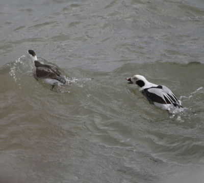 Photo of Long Tailed Ducks Body Surfing on NaturalCrooksDotCom