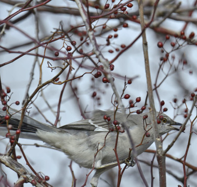 Photo of Northern Mockingbird Eating Multiflora Rosehip Shadows 25 on NaturalCrooksDotCom