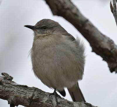 Photo of Northern Mockingbird Front Only Shadows25 on NaturalCrooksDotCom