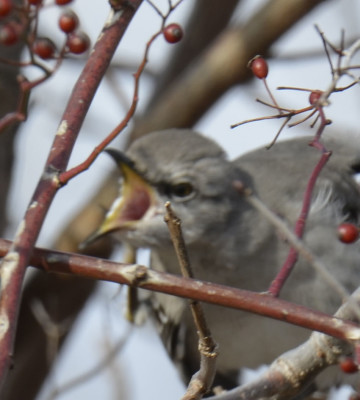 Photo of Northern Mockingbird Gape on NaturalCrooksDotCom