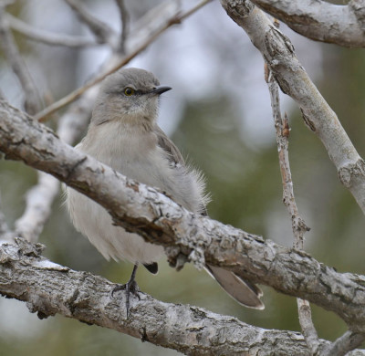 Photo of Northern Mockingbird One Leg Pose Shadows25 on NaturalCrooksDotCom