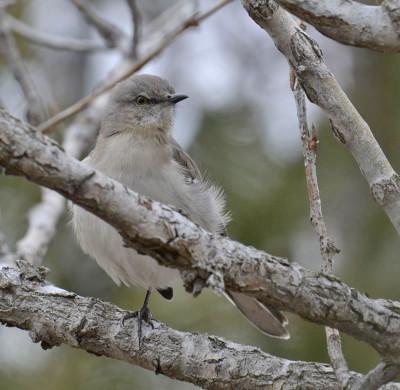 Photo of Northern Mockingbird One Leg Pose Shadows25 on NaturalCrooksDotCom