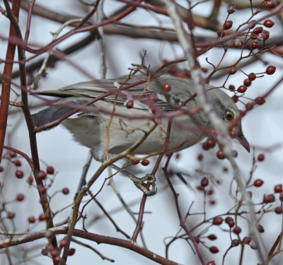Photo of Northern Mockingbird ShortTailed on NaturalCrooksDotCom