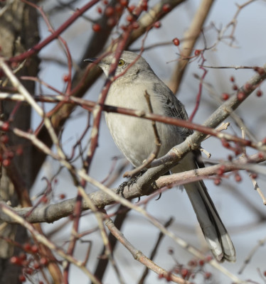 Photo of Northern Mockingbird Through Multiflora Rose on NaturalCrooksDotCom