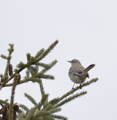 Photo of Northern Mockingbird on Spruce On NaturalCrooksDotCom