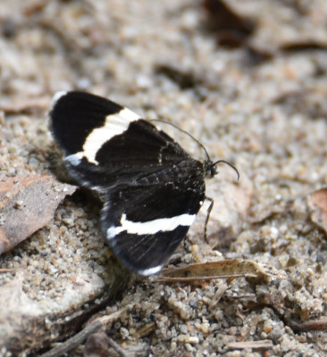 Photo of White Striped Black Moth on Sand on NaturalCrooksDotCom