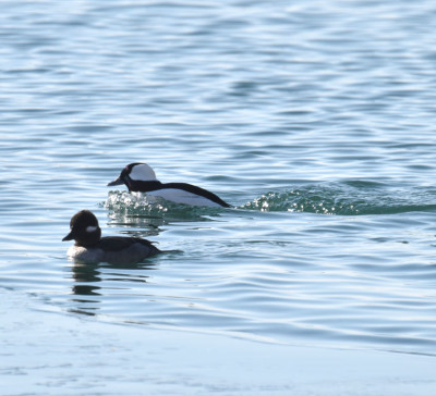 Photo of Bufflehead with Bubbles on NaturalCrooksDotCom