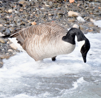 Photo of Canada Goose Hunting In Surf on NaturalCrooksDotCom