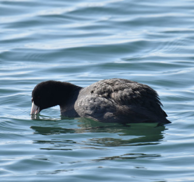 Photo of Coot Eating Weeds on NaturalCrooksDotCom