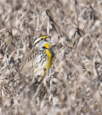 Photo of Eastern Meadowlark Agape Singing on NaturalCrooksDotCom