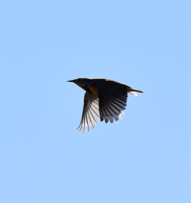 Photo of Eastern Meadowlark Flying Silhouette On NaturalCrooksDotCom