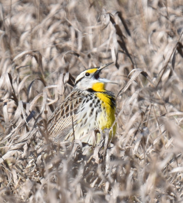 Photo of Eastern Meadowlark Fully Wide Singing on NaturalCrooksDotCom